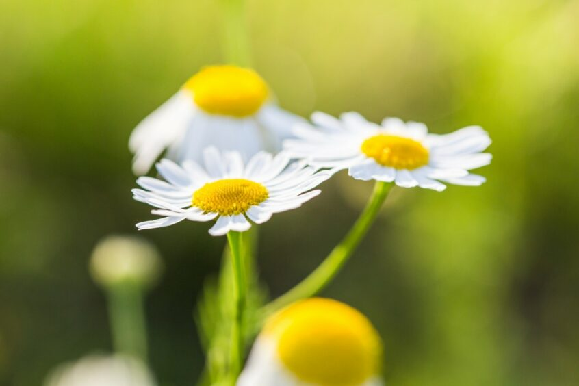 Things to do in Essex outdoor daisy