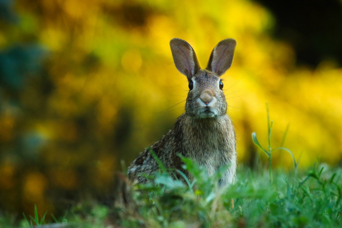 things to do in essex this april 2017 rabbit with yellow behind